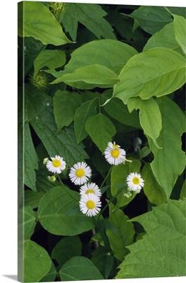 Daisy fleabane flowers (Erigeron annuus) blooming, New York