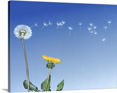 Dandelion (Taraxacum officinale) seeds blowing in the air