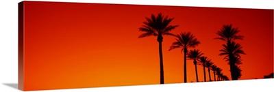 Date Palm Trees Stand Ready Sunrise  Phoenix AZ