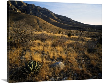 Desert landscape with agave or century plants, Guadalupe Mountains, Guadalupe Mountain National Park, Texas