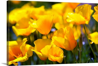 Desert Poppy Flowers In Bloom