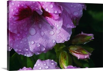 Dew-covered Martha Washington geranium flower blossom, close up.