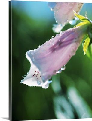 Dewdrops On Foxglove Flower Blossoms (Digitalis Purpurea)