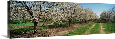 Dirt road passing through a cherry orchard, Leelanau Peninsula, Michigan