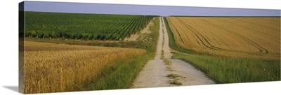 Dirt road passing through a wheat field, Chablis, France