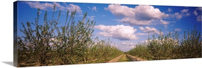 Dirt road passing through an almond orchard, Central Valley, California,