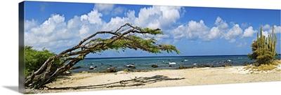 Divi divi tree (Caesalpinia Coriaria) at the coast, Aruba