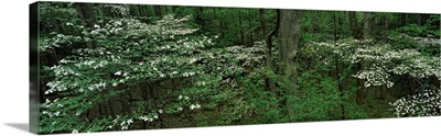 Dogwood Trees in Spring Great Smoky Mtns National Park TN