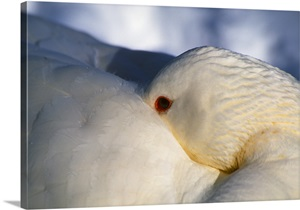 Domestic Duck With Head Tucked Under Feathers For Warmth Close Up Wall Art Canvas Prints