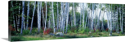 Downy birch (Betula pubescens) trees in a forest, Shelburne, Coos County, New Hampshire