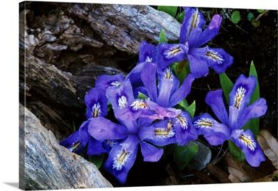 Dwarf lake iris flowers in bloom, Michigan