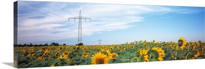 Electricity pylons in a field of Sunflowers (Helianthus annuus), Baden-Wurttemberg, Germany
