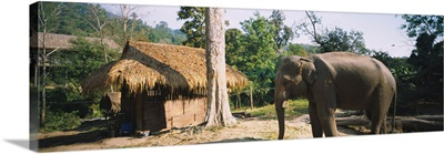 Elephant standing outside a hut in a village, Chiang Mai, Thailand