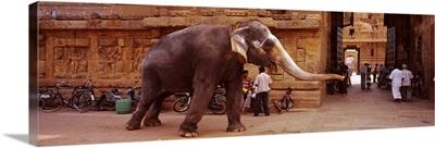 Elephant walking on the street, Tamil Nadu, India