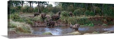 Elephants Crossing River Maasai Mara Kenya