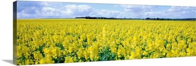 England, Wiltshire, Rape crop