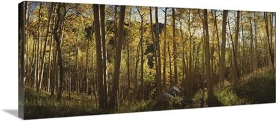Fall in Uncompahque National Park Aspens Colorado