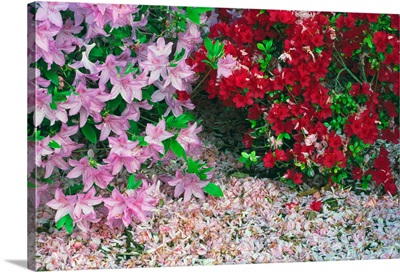 Fallen flower petals around blooming azalea flowers, close up, Maryland