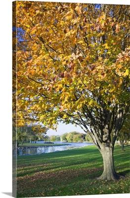 Fallen leaves around autumn color tree, Iowa