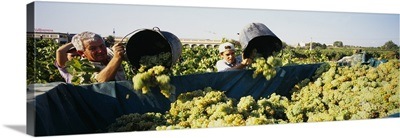 Farmers pouring grapes from buckets in a truck in a vineyard, Spain