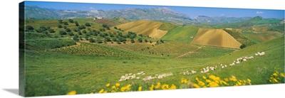 Farmland & Sheep Sicily Italy