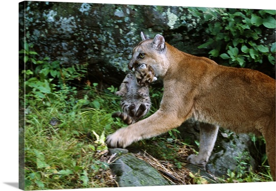 Female cougar carrying cub in mouth, Minnesota Wall Art ...