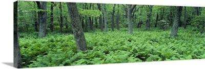 Fern Covered Forest Floor Shenandoah National Park VA