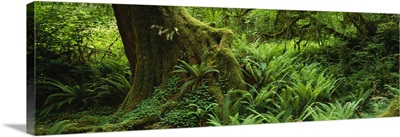 Ferns and vines along a tree with moss on it, Hoh Rainforest, Olympic National Forest, Washington State