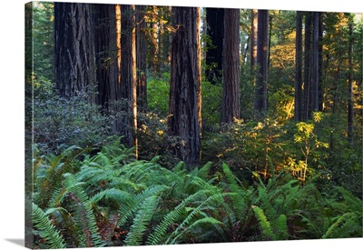 Ferns growing among redwood trees, Redwood National Park, California