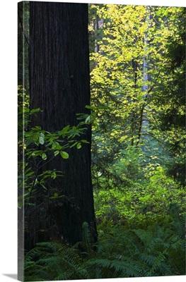 Ferns growing beside redwood tree, Redwood National Park, California