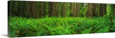 Ferns Redwood State Park CA