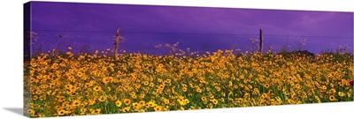 Field Coreopsis Flowers TX