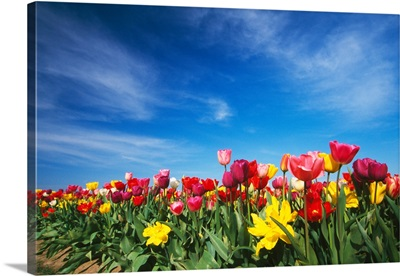Field of blooming tulip flowers, Willamette Valley, Oregon, united states,
