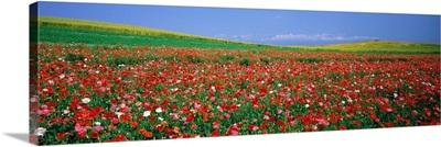 Field of Flowers (Kamifurano) Hokkaido Japan