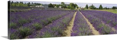 Field of lavender, Jardin Du Soleil, Sequim, Clallam County, Washington State