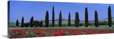 Field of Poppies and Cypresses in a Row Tuscany Italy