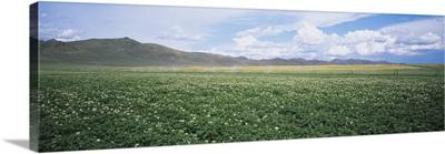 Field of potato crops, Idaho