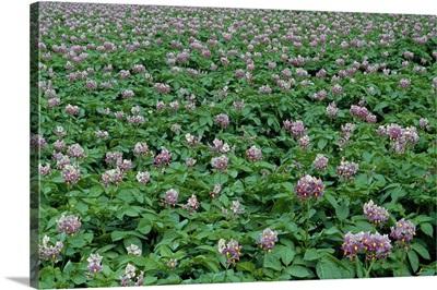 Field of potato plants in bloom, Scotland.