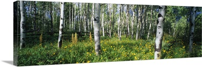 Field of Rocky Mountain Aspens