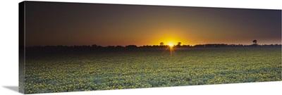 Field of Safflower at dusk, Sacramento, California
