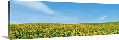 Field of sunflower with blue sky