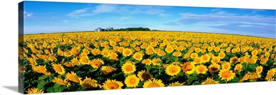 Field of Sunflowers Kansas