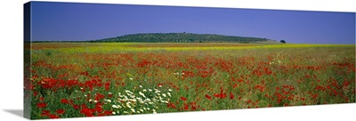 Field of Wildflowers, near Beja, Alentejo, Portugal