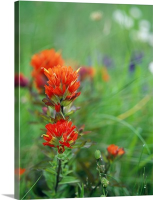 Field Of Wildflowers With Indian Paintbrush In Bloom