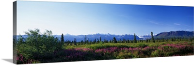 Fireweed flowers (Epilobium latifolium) in bloom, distant Chugach Mountains, summer, Alaska