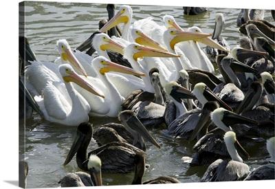Flock of Pelicans in water, Galveston, Texas