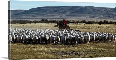 Flock of sheep in a farm, Santa Cruz Province, Patagonia, Argentina