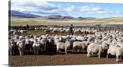 Flock of sheep on a farm, Estancia Punta Del Monte, Aysen Region, Patagonia, Chile II