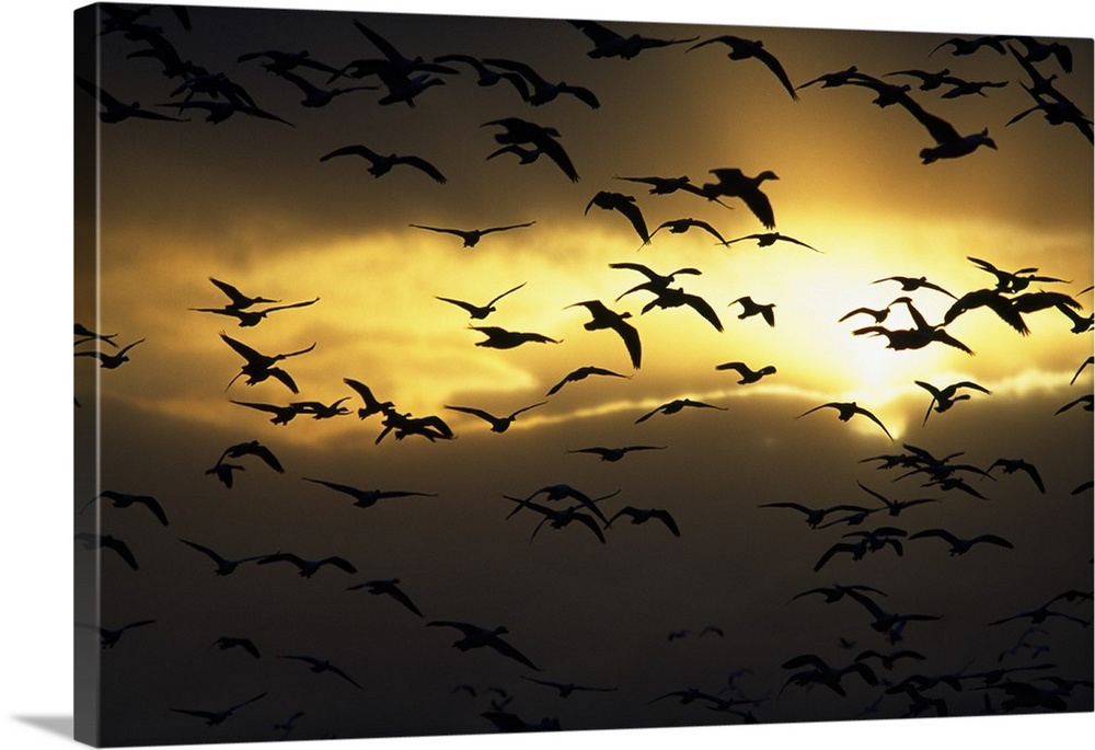 Flock of silhouetted snow geese in flight, sunrise, Bosque Del ...