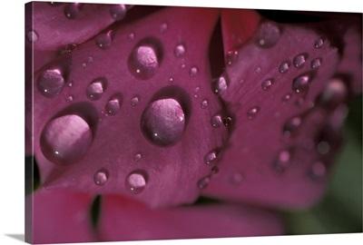 Flower Petal w/Dew